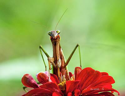Praying Mantis On Zinnia Poster