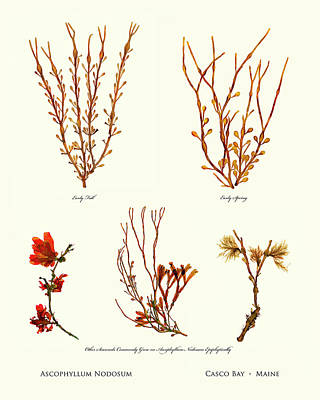 Pressed Seaweed Print, Ascophyllum Nodosum Specimens, Casco Bay, Maine. Poster