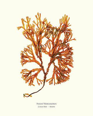 Pressed Seaweed Print, Fucus Vesiculosus, Casco Bay, Maine. #34 Poster by John Ewen