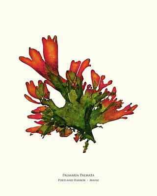 Pressed Seaweed Print, Palmaria Palmata, Portland Harbor, Maine. #25 Poster by John Ewen