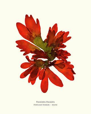 Pressed Seaweed Print, Palmaria Palmata, Portland Harbor, Maine.  #28 Poster by John Ewen