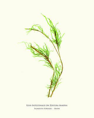 Pressed Seaweed Print, Ulva Intestinalis On Zostera Marina, Falmouth Foreside, Maine. Poster by John Ewen