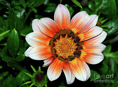 Poster featuring the photograph Pretty Gazania By Kaye Menner by Kaye Menner