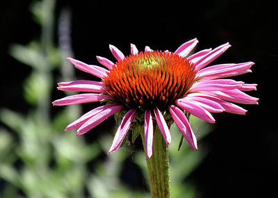 Pretty Pink Coneflower Poster by Rona Black