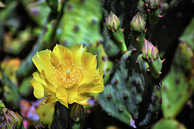 Prickly Pear Cactus Flower On Assateague Island Poster