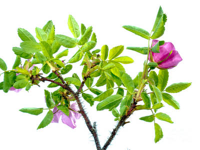 Prickly Wild Rose Rosa Acicularis Isolated Poster