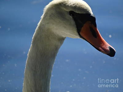 Profile Of A Swan Poster