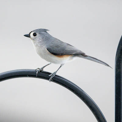 Profile Of A Tufted Titmouse Poster