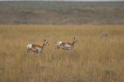 Pronghorn Antelope At The Charles M Poster