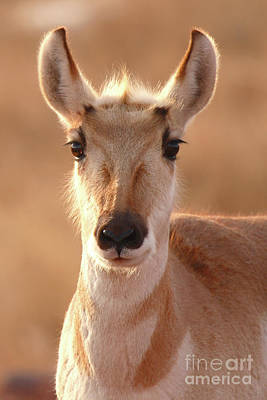 Poster featuring the photograph Pronghorn Antelope Doe In Soft Light by Max Allen