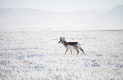 Pronghorn In The Hoar Frost Poster by Jerry Voss