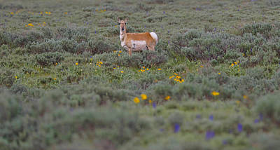 Pronghorn In Wildflowers Poster