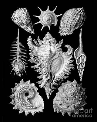 Prosobranchia, Vintage Sea Life Mollusca And Gastropods Illustration Poster by Tina Lavoie
