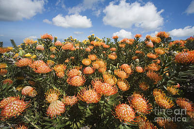 Protea Blossoms Poster by Ron Dahlquist - Printscapes
