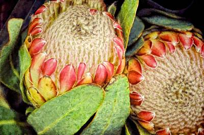 Proteas II Poster by Jan Amiss Photography