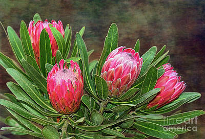 Proteas In Bloom By Kaye Menner Poster by Kaye Menner