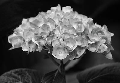 Proud Blue Hydrangea Black And White Poster by Sandi OReilly