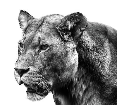 Proud Lioness Poster by Martin Newman