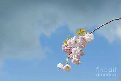 Prunus Ichiyo Blossom  Poster by Tim Gainey