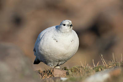 Poster featuring the photograph Ptarmigan Going For A Stroll by Karen Van Der Zijden