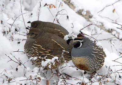Puffed Winter Quail Family Poster by Mike Dawson