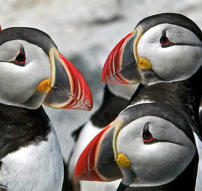 Puffins Closeup Poster