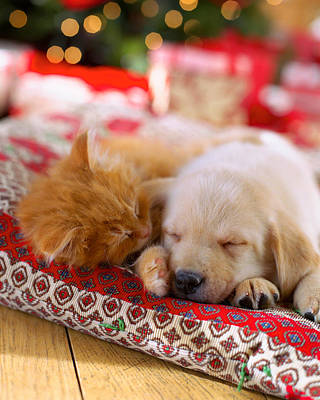 Puppy And Kitten Snuggling On Red Poster by Gillham Studios