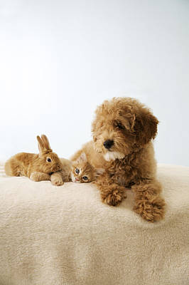 Puppy Lying Down With Kitten And Bunny Poster