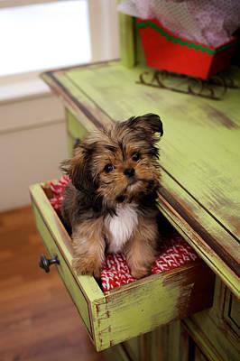 Puppy Sitting In Desk Drawer Poster