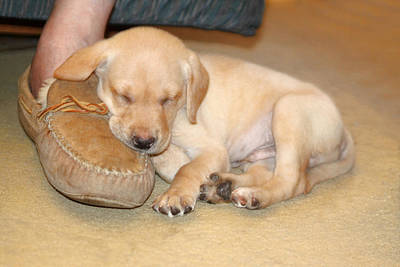 Puppy Sleeping On Daddy's Foot Poster by Linda Phelps