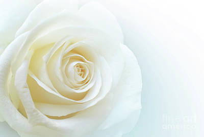 Pure White Rose Poster by Carlos Caetano