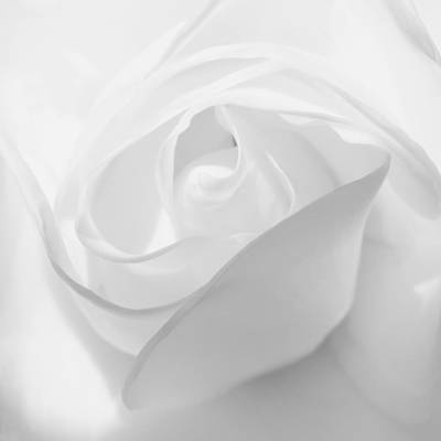 Purity - White Rose Poster