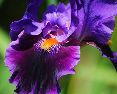 Purple And Orange Iris 4 Poster by Jai Johnson