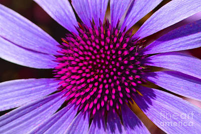 Purple And Pink Daisy Poster