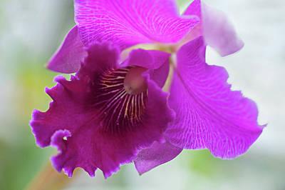 Purple Cattleya Orchid Macro Poster by Jenny Rainbow