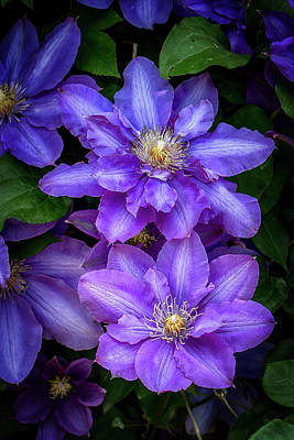 Purple Clematis In Spring Poster by John Haldane