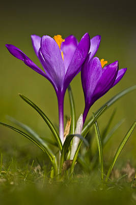 Purple Crocus Poster by Gabor Pozsgai
