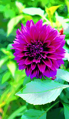 Purple Dahlia Image Poster
