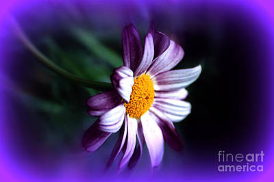 Purple Daisy Flower Poster by Susanne Van Hulst