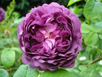 Purple English Rose Poster
