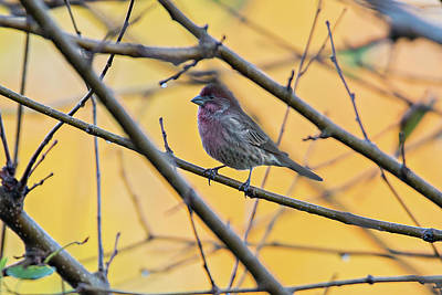 Purple Finch Bird Sitting On Tree Branch With Yellow Background Poster by Alex Grichenko