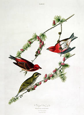 Purple Finch Poster by John James Audubon