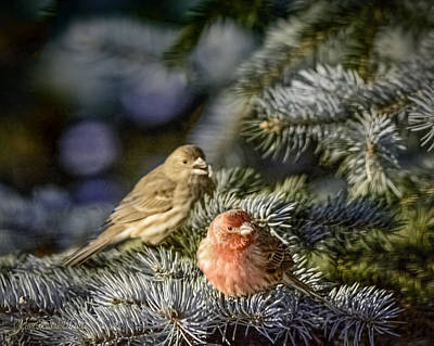 Purple Finch Pair Poster