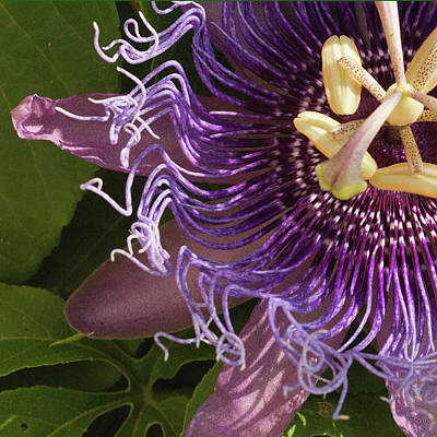 Poster featuring the photograph Purple Fine View Passion Flower by Michael Flood