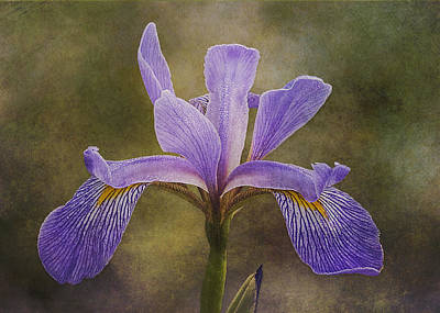 Purple Flag Iris Poster by Patti Deters