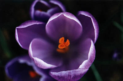 Purple Flower Poster by Pelo Blanco Photo