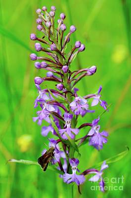Purple Fringed Orchid Poster