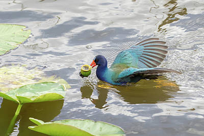 Purple Gallinule Poster by Phil Stone