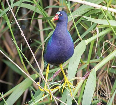 Poster featuring the photograph Purple Gallinule by Robert Frederick