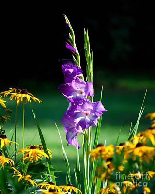 Poster featuring the photograph Purple Glads And Black-eyed Susans by Lila Fisher-Wenzel